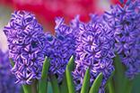 1月24日ヒヤシンス(紫)の画像