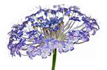 3月17日ブルーレースフラワーの画像