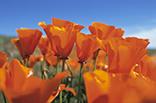4月19日カリフォルニアポピーの画像