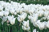 5月11日チューリップ(白)の画像