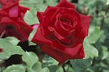 6月24日バラ(赤)の画像