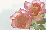 7月3日バラ(ピンク)の画像