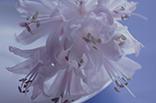 8月10日アマリネの画像