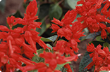 8月14日サルビア(赤)の画像