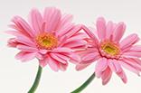 8月19日ガーベラ(ピンク)の画像