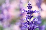 9月18日サルビア(紫)の画像