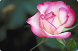 10月27日バラ(ニコル)の画像