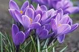 10月30日クロッカス(紫)の画像