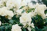 11月23日バラ(白)の画像