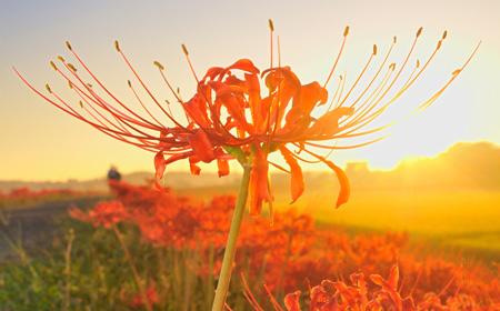 夕日に染まる彼岸花