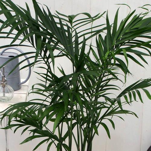 観葉植物「メキシコケンチャヤシ」