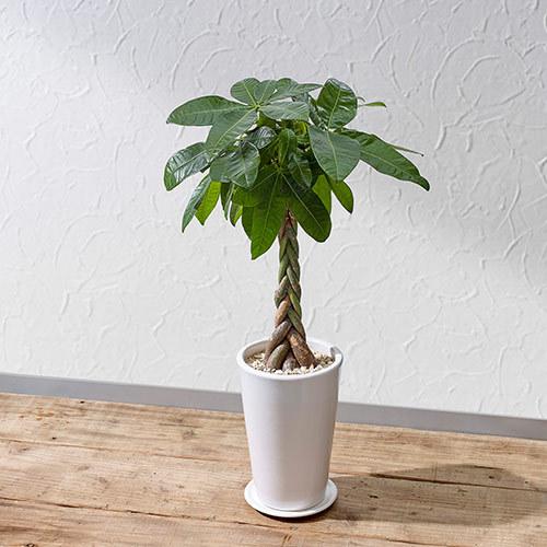 観葉植物「パキラ(M)」