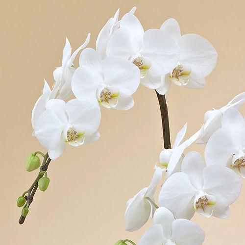 ミディ胡蝶蘭(ホワイト)2本立ち