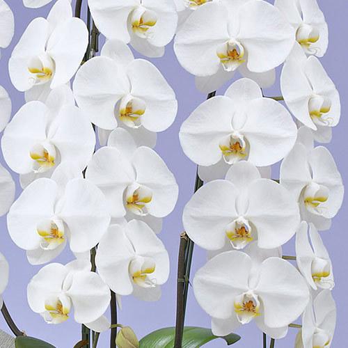 【お供え用】胡蝶蘭(ホワイト)3本立ち