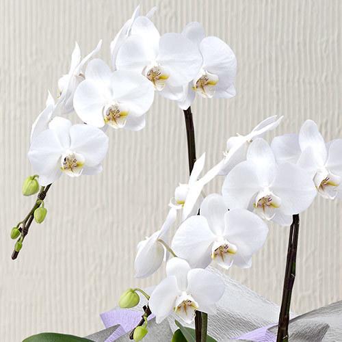【お供え用】ミディ胡蝶蘭(ホワイト)2本立ち