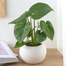 お手入れかんたん観葉植物「モンステラ(ホワイト)」