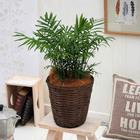観葉植物「テーブルヤシ・バスケット」