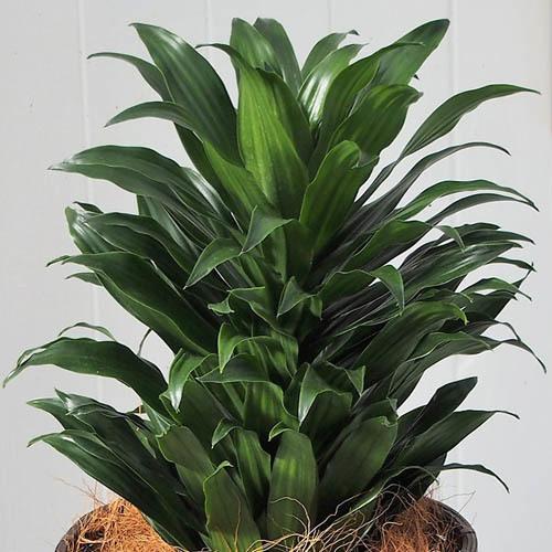 観葉植物「ドラセナコンパクタ・バスケット」