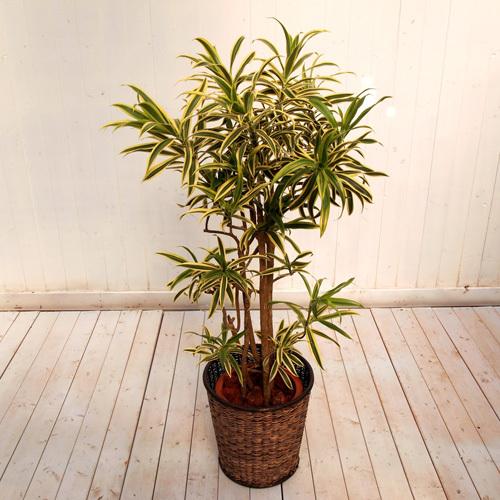 観葉植物「ソングオブインディア・バスケット」