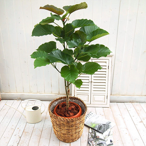 観葉植物「ウンベラータ・バスケット」