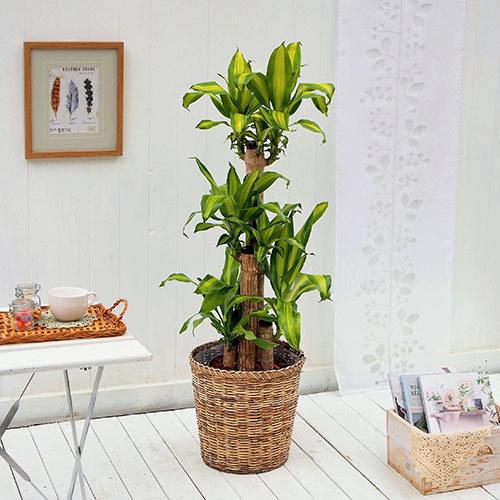 観葉植物「幸福の木バスケット」
