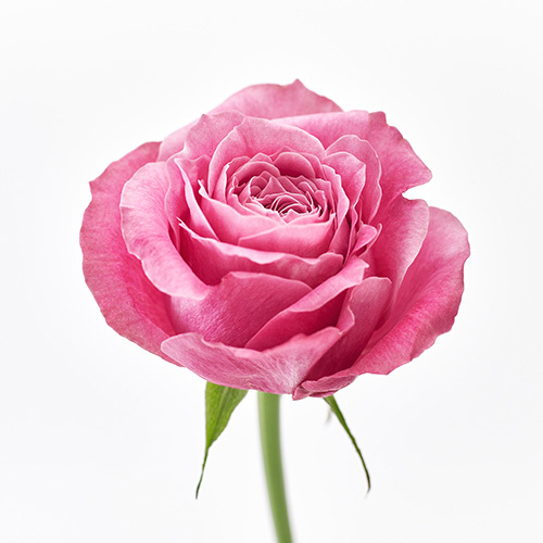 花束「品種指定バラ『オールフォーラブ』20本」