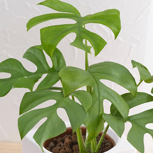 お手入れかんたん観葉植物「ヒメモンステラ(スクエアホワイト)」