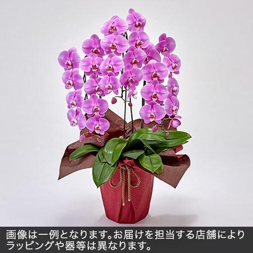 胡蝶蘭(ピンク)3本立ち 21〜24輪以上(蕾含む)