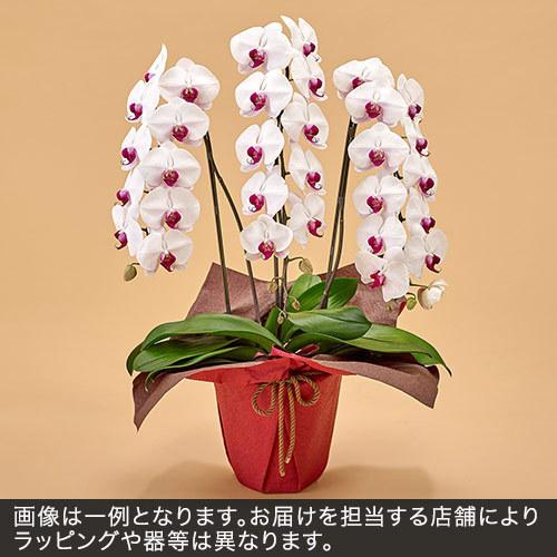 胡蝶蘭(赤リップ)3本立ち 27〜30.輪以上(蕾含む)