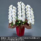 胡蝶蘭(白)3本立ち 36〜39輪以上(蕾含む)