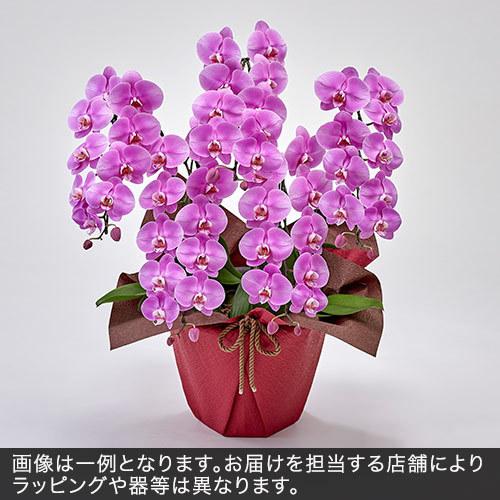 胡蝶蘭(ピンク)5本立ち 35〜40輪以上(蕾含む)