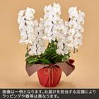 胡蝶蘭(白)5本立ち 40〜50輪以上(蕾含む)