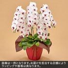胡蝶蘭(赤リップ)5本立ち 40〜50輪以上(蕾含む)