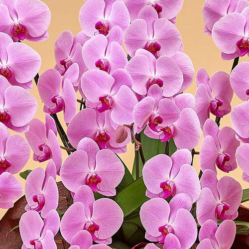 胡蝶蘭(ピンク)5本立ち 40〜50輪以上(蕾含む)