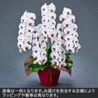 胡蝶蘭(赤リップ)5本立ち 50〜60輪以上(蕾含む)