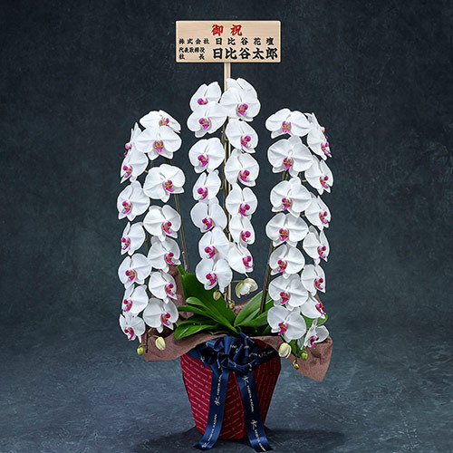 手渡し配達のプレミアム胡蝶蘭(赤リップ)3本立ち【東京都内エリア限定】