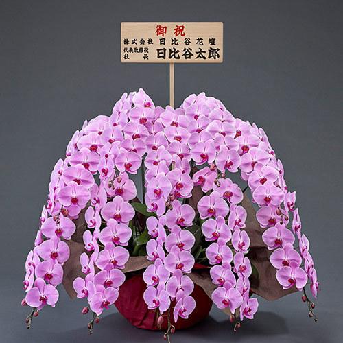 10本立ち胡蝶蘭(ピンク) 120輪以上(つぼみ含む)【東京都内エリア限定】