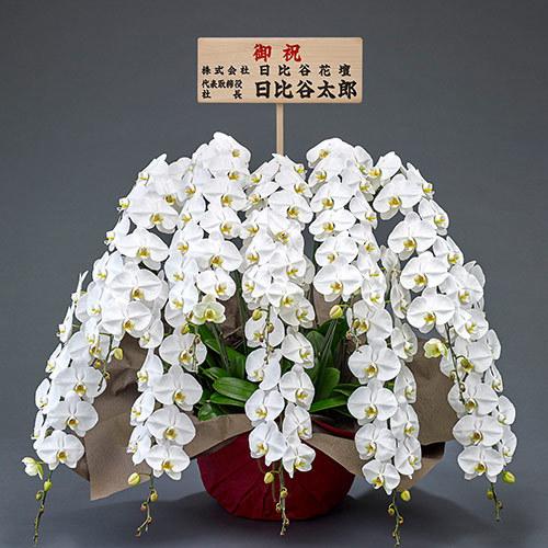 10本立ち胡蝶蘭(白) 120輪以上(つぼみ含む)【大阪市内エリア限定】