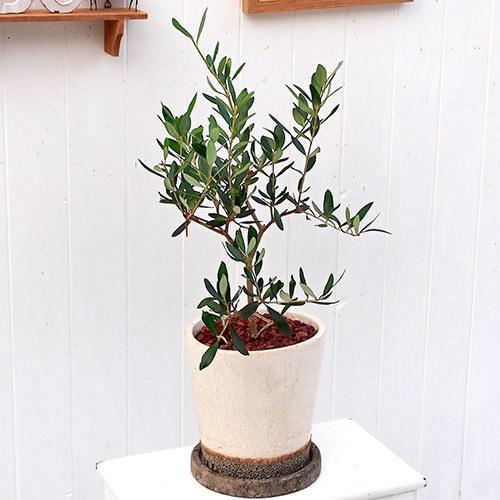観葉植物「オリーブ」