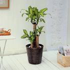 観葉植物「幸福の木バスケット」M
