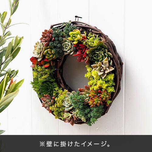 観葉植物「サキュレンツリース」