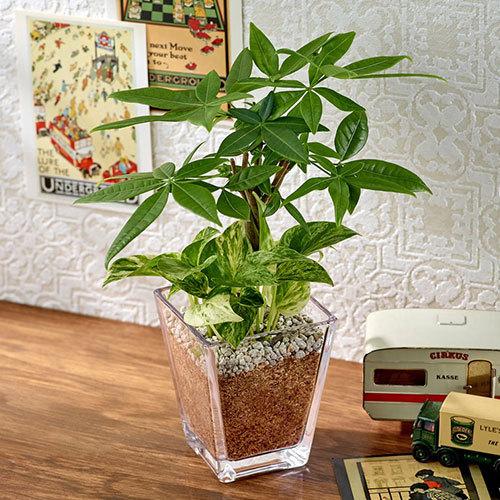 環境にやさしいエコスギ観葉植物「パキラ・ポトスの寄せ植え(スクエアグラス)」
