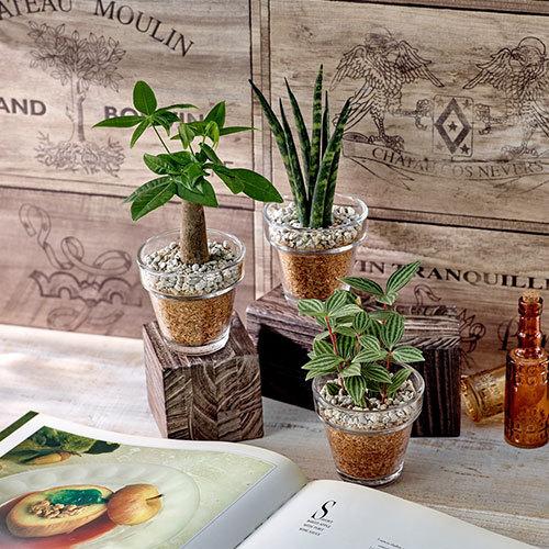 環境にやさしいエコスギ観葉植物「パキラ・サンスベリア・ペペロミア3個セット」