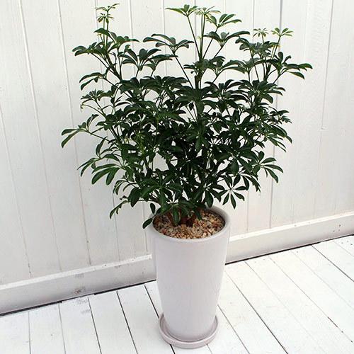 観葉植物「カポックコンパクタ・ホワイトポット」