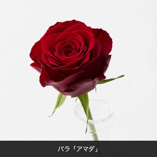 花束「品種指定バラ『アマダ』20本」