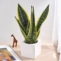 お手入れかんたん観葉植物「サンスベリア・フツーラ(スクエアホワイト)」