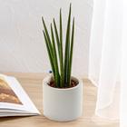 お手入れかんたん観葉植物「サンスベリア・バキュラリス(シリンダーホワイト)」
