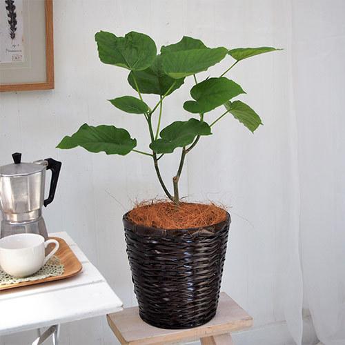 観葉植物「ウンベラータ6号・バスケット」
