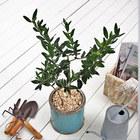 観葉植物「オリーブ2種植え・アンティークポットブルー」