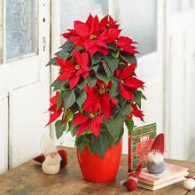 クリスマス 「ポインセチア(タワー仕立て)」